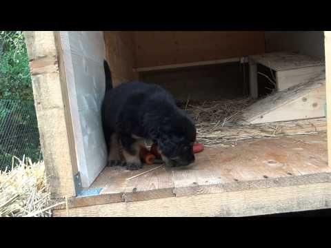 Hovawartwelpen Zusammenfassung D Wurf Teil 1 Youtube In 2020 Hundeerziehung Welpen Hunde