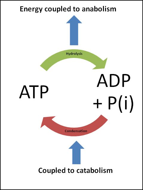 ATP Phosphorylation: takes place in mitochondria; produces ...