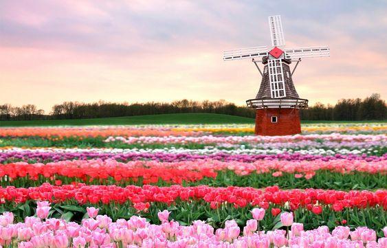 3. Tradicional molino de viento en un campo de tulipanes.  HOLANDA