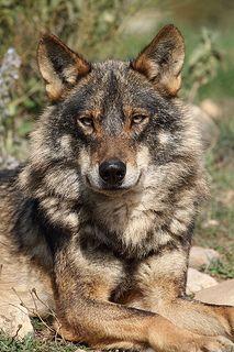 Iberian Wolf, Canis lupus signatus   by Ian Macfadyen