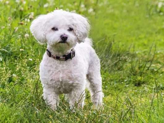 Pyloric Stenosis In The Maltese Dog Breed Maltese Dog Breed