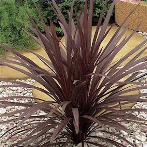 Achat cordyline australis atropurpurea jeune plante en for Achat plante jardin