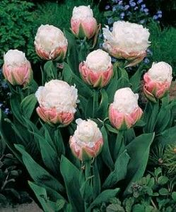 double tulip ice cream never seen anything like this before now i kind want them in my. Black Bedroom Furniture Sets. Home Design Ideas