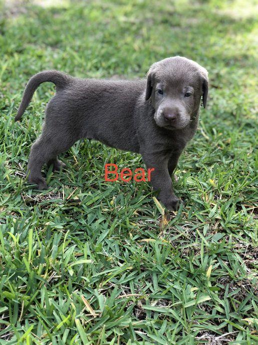 Bear Male Silver Lab Born Sept 15 Adopt Labrador Retriever S