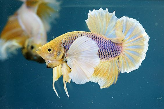 Purple gas big ear halfmoon plakat betta fish for Big betta fish