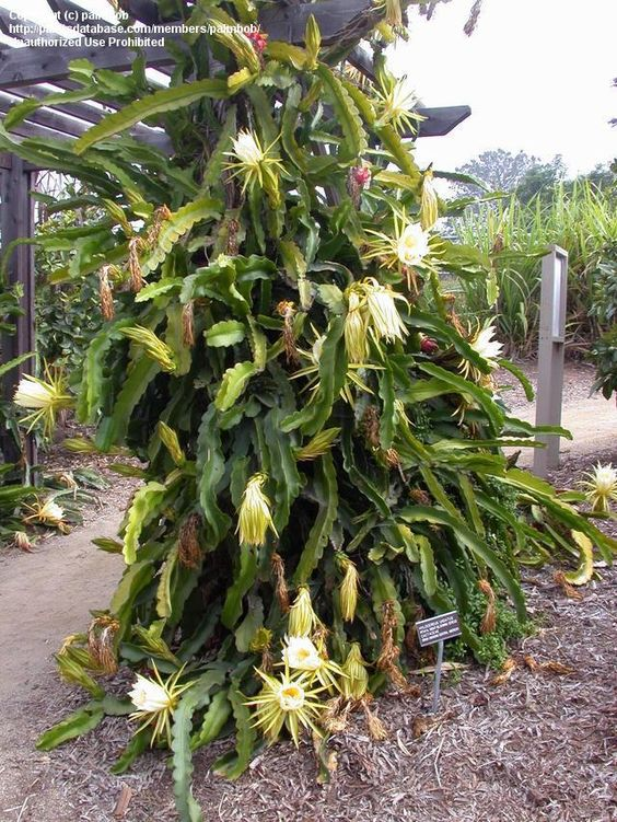 dragon fruit plant night blooming cereus plant jims