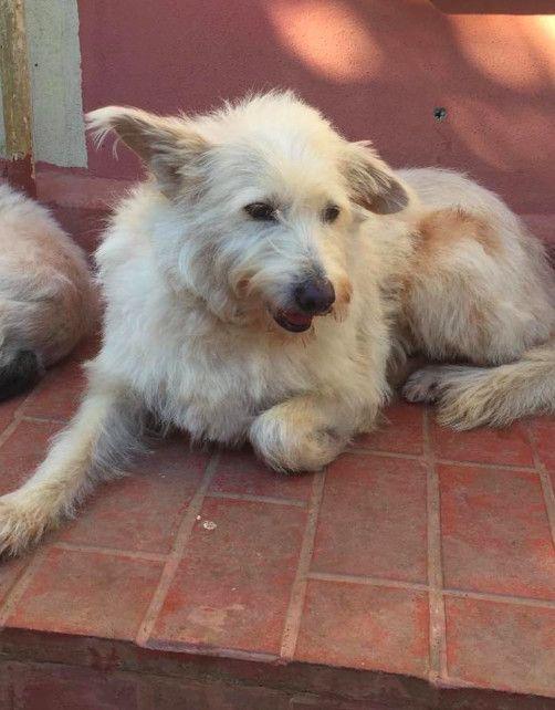 Adopt Maya On Terrier Mix Dogs Bearded Collie Wheaten Terrier Mix