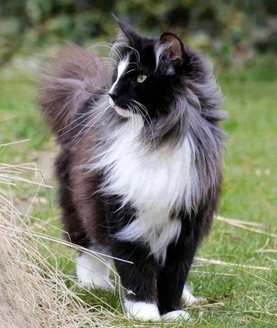Quiet as a Mouse. Norwegian forest cat is generally quiet but when he speaks, its with chirps and meows.
