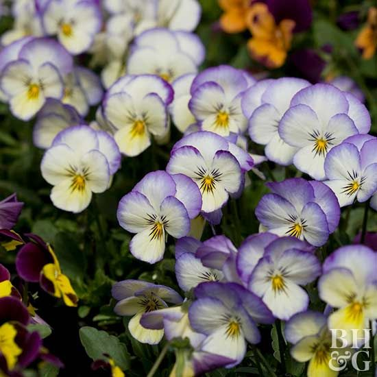 9 Winter Flowers That Thrive In The South Winter Flowers Annual Plants Shade Loving Perennials