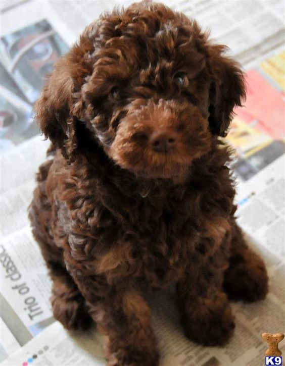 Miniature Labradoodles - Labradoodle Puppy for Sale in the UK