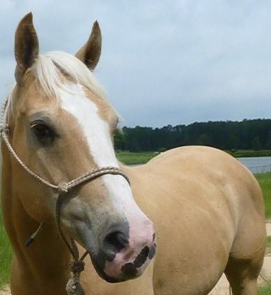 Halo - Beautiful QH - Gelding**VIDEO**