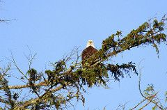 Bold Eagle by Tofino Harbour