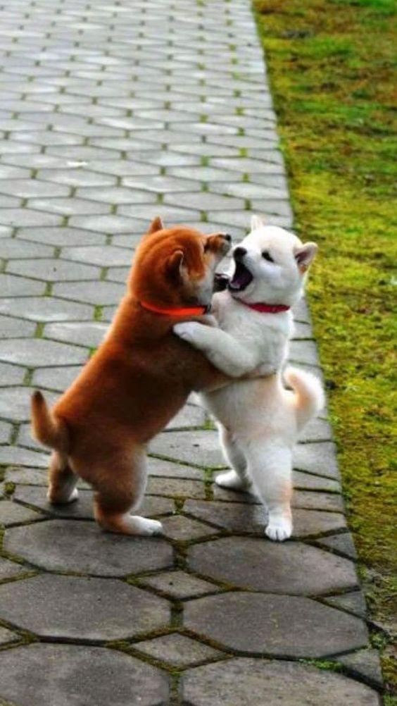 押し合い相撲のかわいい子犬