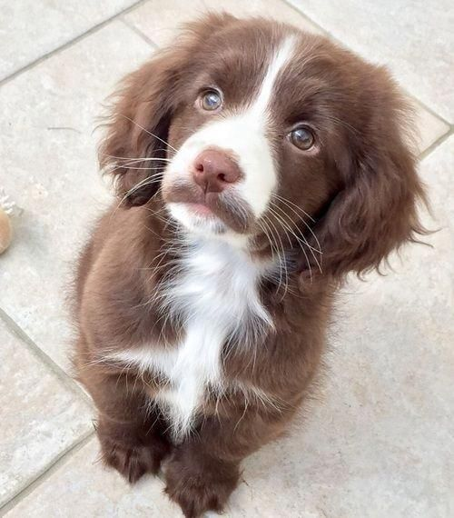 Pomeranian Bold And Inquisitive Mixed Breed Dogs Spaniel