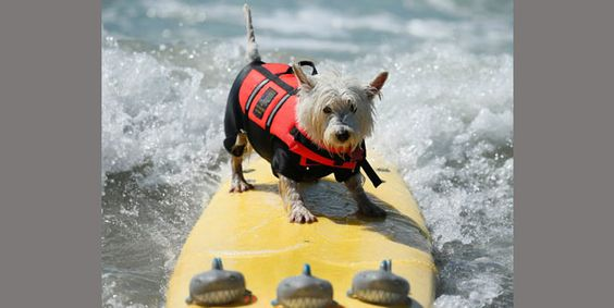 A West Highland Terrier competes on a board in the Surf City Surf Dog contest in Huntington Beach.