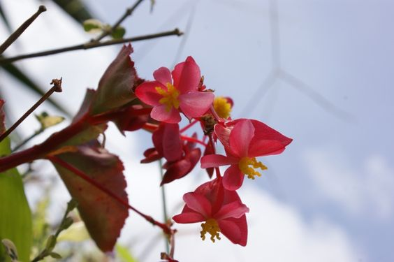 flor de begomia DFC.