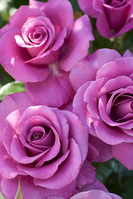 "Rosa ""Shocking Blue"" - Rose"