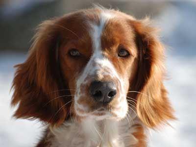 Welsh Springer Spaniel Price Temperament Life Span Welsh Springer Spaniel Dog Breeds Medium Spaniel Puppies