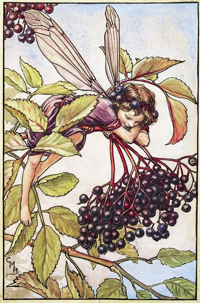 Elderberry fairy by Cicely Mary Barker  love her work
