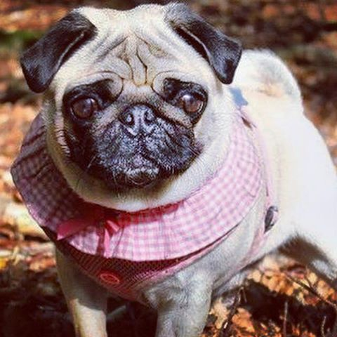 Pink Puppia Vivian Harness Available At Www Ilovepugs Co Uk Post