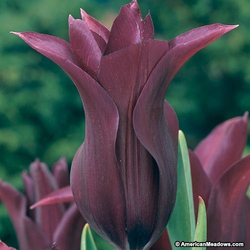 Burgundy Lily Flowered Tulip Bulb Flowers Tulips Tulips Flowers