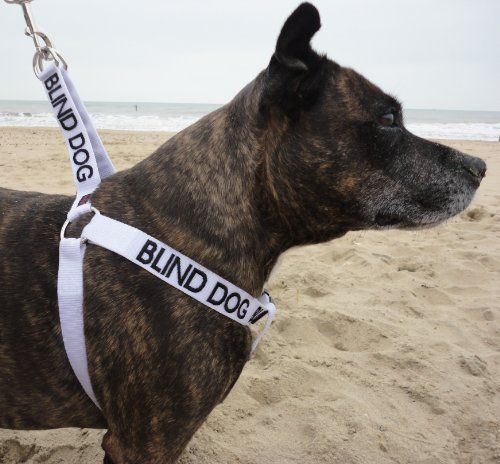 Blind Dog harness would be useful for those approaching so they can do so appropriately AND not startle