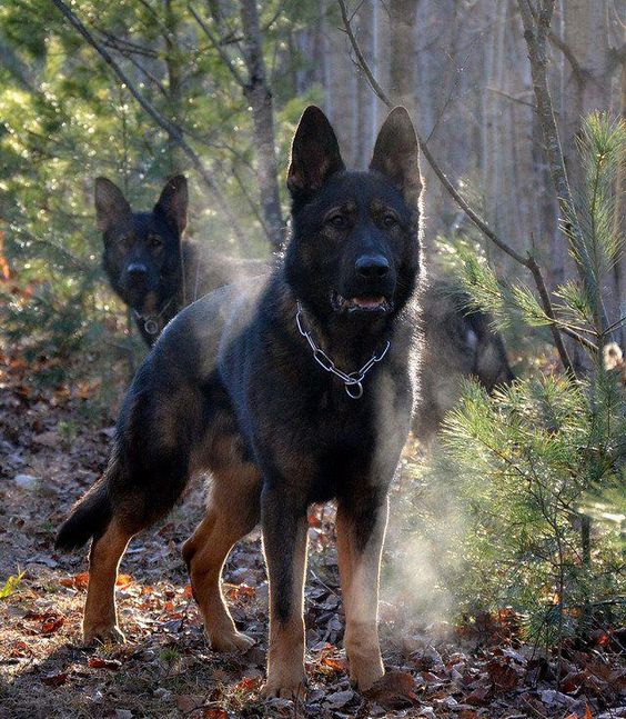 The only thing better than roaming the woods with your German Shepherd is having TWO!