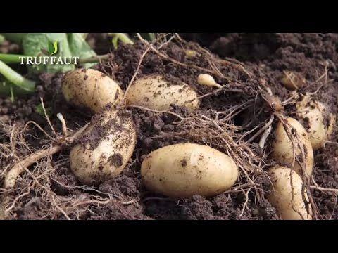 Comment planter des pommes de terre jardinage pinterest montres comment et planters - Planter des pommes de terre ...