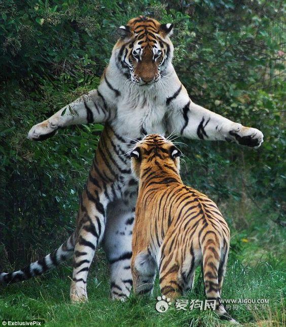 Give me a hug :) Siberian Tiger