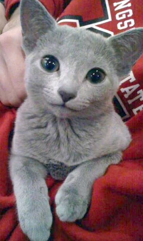Check It Out Beautiful Cats For Sale In Pakistan Cute Animals Kittens Cutest Grey Kitten