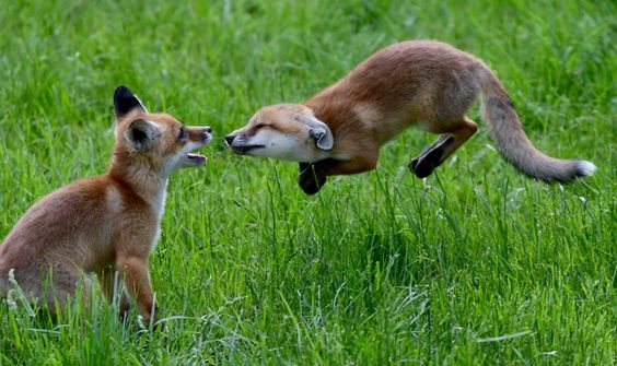 Frühlingsfreuden: Zwei Fuchswelpen tollen im Tierpark Wisentgehege bei Springe...
