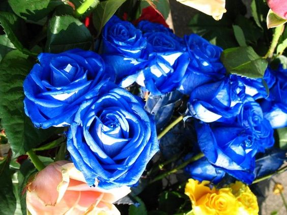 i love blue roses