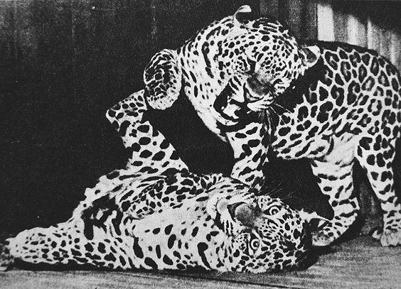 leopard attacke