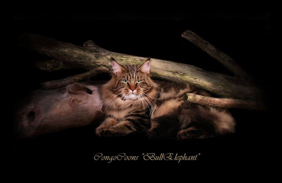 Brown tabby male maine coon laying down