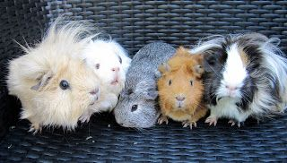 Guinea pig blog with lots of useful info