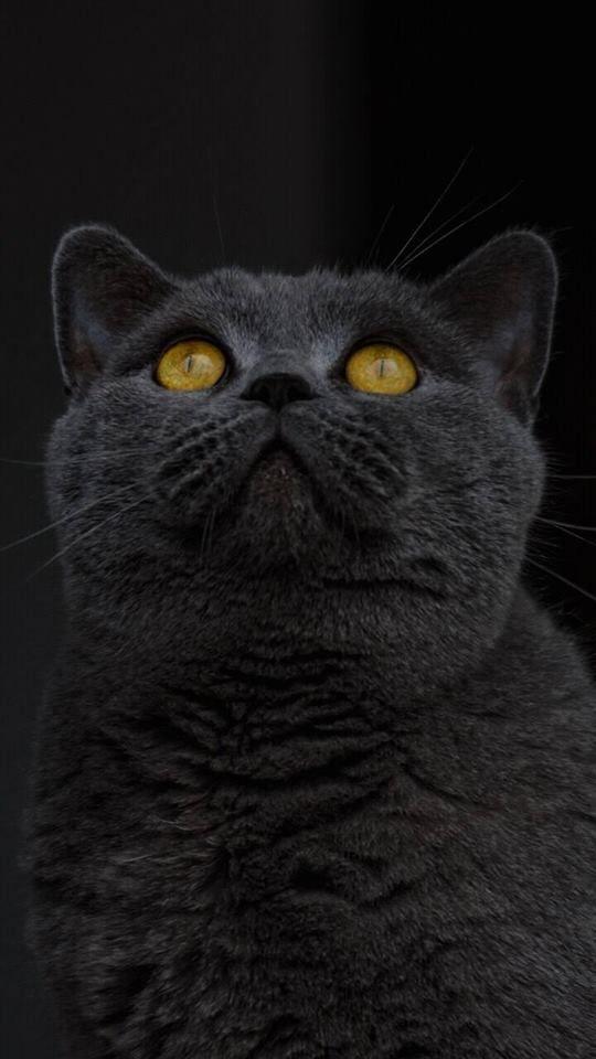 Black Cat Wallpaper Beautiful Cats British Shorthair Cute Cats