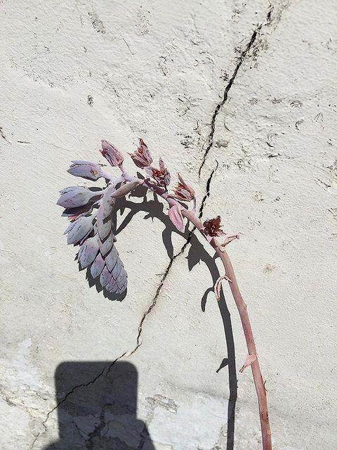 white wall, curling succulent, stark shadow #plants #garden