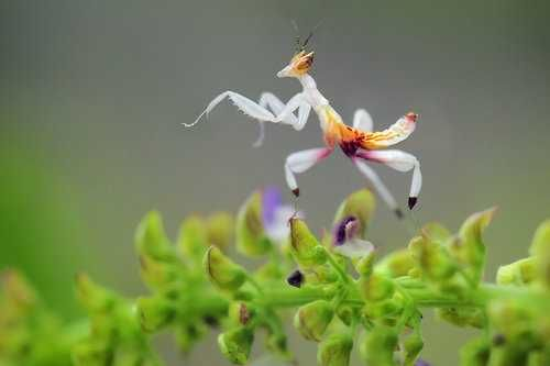 Incredible Invertebrates Mantids Orchid Mantis Macro Pictures Amazing Macro Photography