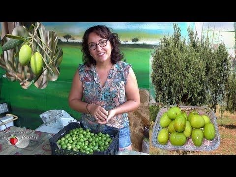 Aceitunas Verdes Curadas En Sosa Caustica Curar Aceitunas En Casa Youtube Aceitunas Escabechado Curar