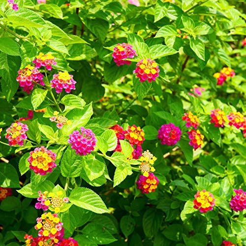 Amazon Com 100pcs Bag Rarest Lantana Seeds Top Quality Easy To Grow Bonsai Plants Diy Garden Garden Outdoor Lantana Plant Plants Diy Plants