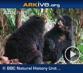 SPECTACLED BEAR CUBS....wrestling and playing