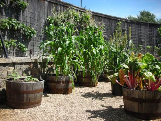Corn grown in a barrel above ground vegetable gardening for Above ground vegetable garden