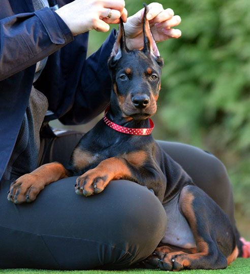 European Black Male Puppy For Sale In Usa With Images Doberman