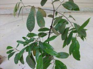 Nutmeg tree $25