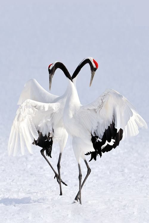 Exotic Winter Dance - Japanese Red-Crowned Cranes - Marsel van Oosten: