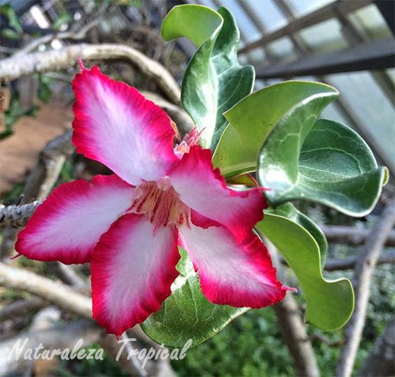 Flor de la planta Adenium obesum
