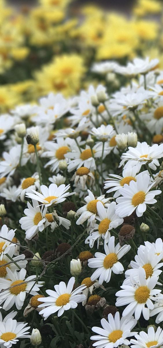 "Amazing Daisies Daisy May is a perennial hardy down to zone 5, with white shasta daisies that measure 3'"" across. This is award winning plant is easy to care for and attracts butterflies."