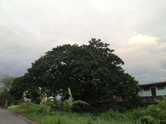 Big tree in a small town.