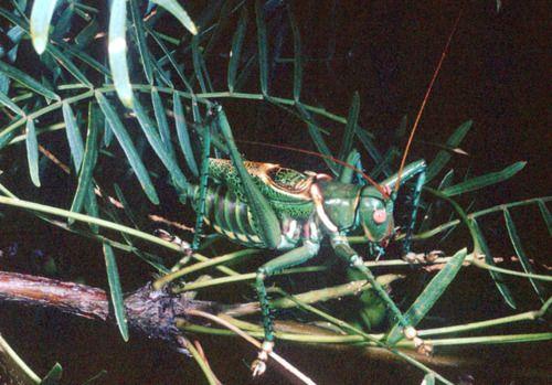 Green Green Grasshopper.