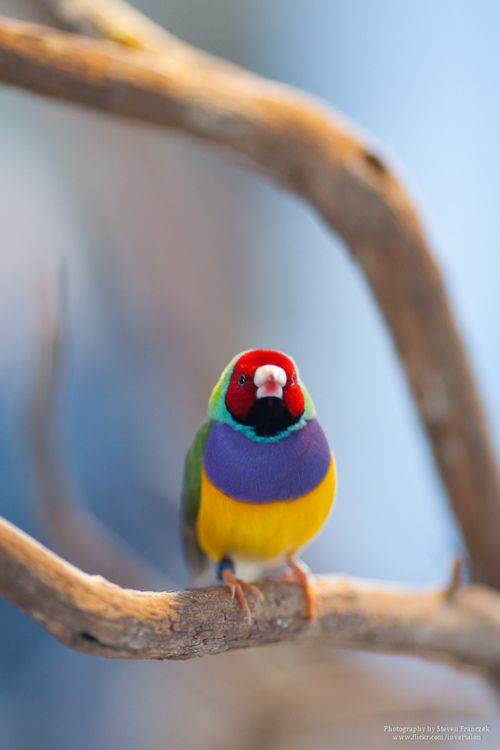 Gouldian Finch Photo by Steven Franczek